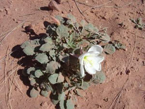 Desert primrose - Michael says they turn pink after pollination because they are blushing.